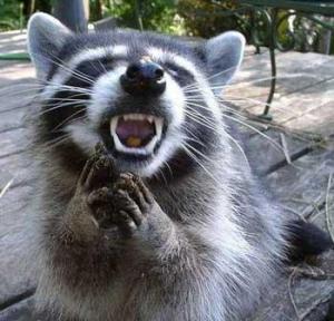 angry-raccoon